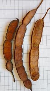 Fig. 1: Frutos de Curupay