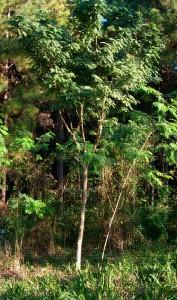 Fig. 6: Plantación de Curupay a los 6 años